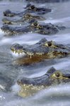 Yacare caiman in ambush by Mark Jones - print