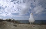Herring gull by Dan Mead - print