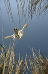 Barn owl - a vole's eye view by Nick Oliver - print