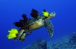 Green turtle grooming by Andrew Seale - print