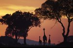 Giraffe family at sunrise by Gabriela Staebler - print