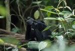 Celebes black ape looking at its reflection by Solvin Zankl - print