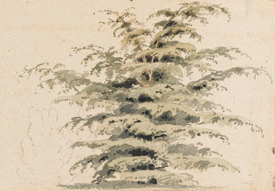 Study of a cedar tree by Thomas Baxter - print