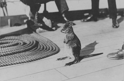 Wallaby on HMS 'Renown' (1916) during her 1920 tour of Australia and New Zealand by unknown - print