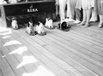 Dog racing aboard the 'Rawalpindi' by Marine Photo Service - print