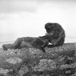 Barbary macaques on Gibraltar by Marine Photo Service - print