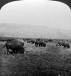 Buffalo, Yellowstone National Park, USA Fine Art Print by Angus McBride