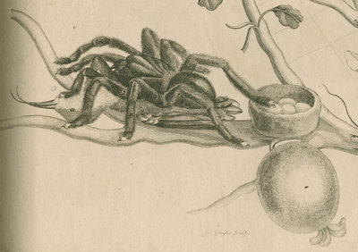 'Bird-eating spider with humming bird' by Joseph Mulder - print