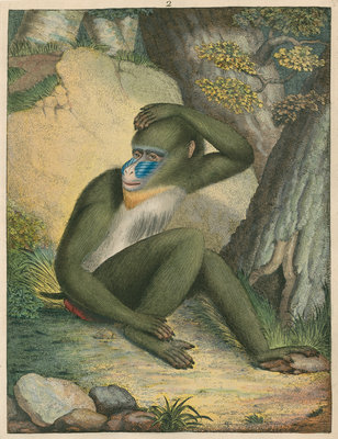 'The Maimon' [Mandrill] by James Sowerby - print