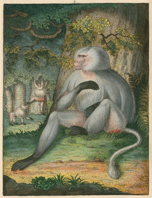 'The Grey Baboon' [Barbary macaque] by James Sowerby - print