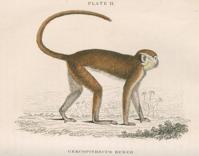 'Cercopithecus ruber' [Red monkey] by William Home Lizars - print
