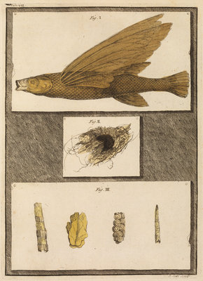 Flying fish with freshwater nests and cases by T Cole - print