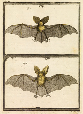 A specimen of bat by T Cole - print