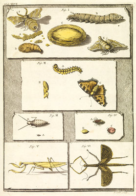 Studies of the silk worm and other insects by T Cole - print
