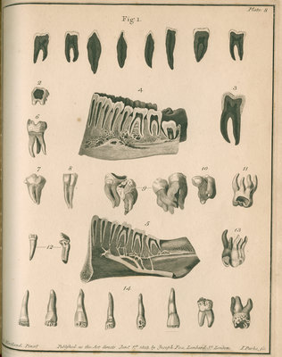 Cross-sections of the teeth and lower jaw by Parks - print