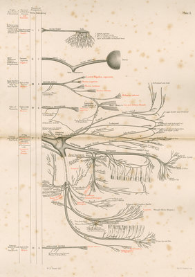'The Cranial Nerves' by M & N Hanhart - print