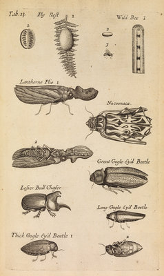 Insects in the Royal Society's Repository by Anonymous - print