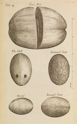 A coconut in the Royal Society's Repository by Anonymous - print