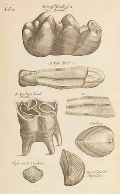 A 'petrified tooth' in the Royal Society's Repository by Anonymous - print