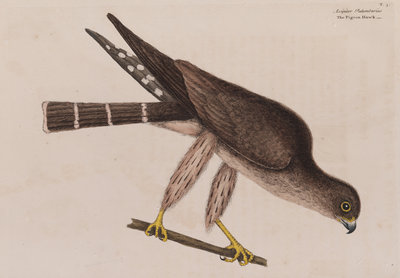 The pigeon-hawk by Mark Catesby - print