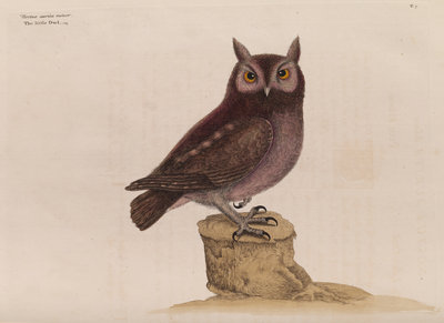 The little owl by Mark Catesby - print