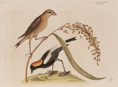 The 'rice-bird' by Mark Catesby - print