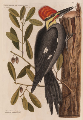The 'larger red-crested wood-pecker' and the 'live oak' by Mark Catesby - print