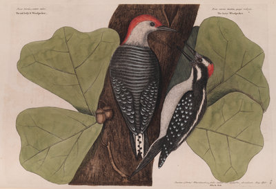 The 'red-bellied wood-pecker', the 'hairy wood-pecker' and the 'black oak' by Mark Catesby - print