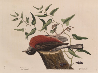 The 'fieldfare of Carolina' and the snake-root of Virginia by Mark Catesby - print