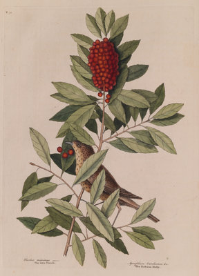 The 'little thrush' and the 'dahoon holly' by Mark Catesby - print
