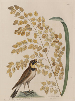 The 'lark' and the 'sea-side oat' by Mark Catesby - print
