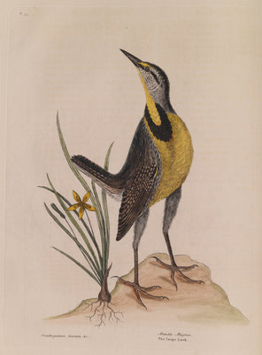 The 'large lark' and the 'little yellow star-flower' by Mark Catesby - print