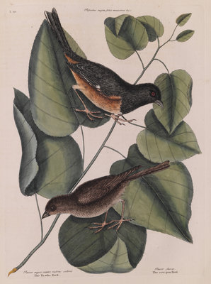 The 'towhe' bird, the 'cowpen' bird and the 'black poplar' of Carolina by Mark Catesby - print