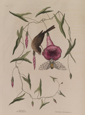 The 'little sparrow' and the 'purple bind-weed of Carolina' by Mark Catesby - print