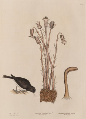 The 'snow-bird' and the 'broom-rape' by Mark Catesby - print