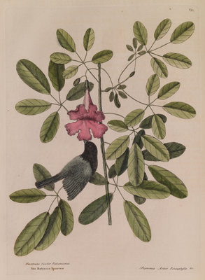 The 'Bahama sparrow' and the 'bignonia' by Mark Catesby - print