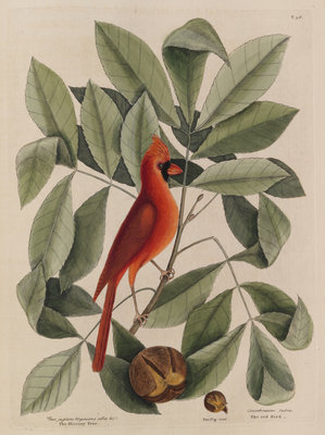 The 'red bird', the 'hiccory tree' and the 'pignut' by Mark Catesby - print