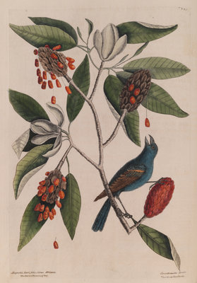 The 'blew gross-beak' and the 'sweet flowring bay' by Mark Catesby - print