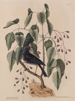 The 'purple gross-beak' and the 'poison-wood' by Mark Catesby - print