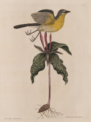 The yellow brested chat and the 'Solanum triphyllon' by Mark Catesby - print