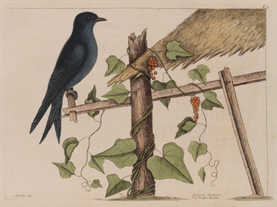 The purple martin and the 'Smilax (forte) lenis' by Mark Catesby - print