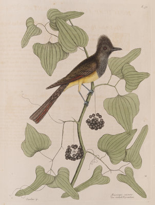 The 'crested fly-catcher' and the 'Smilax bryoniae' by Mark Catesby - print