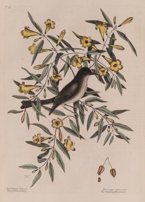 The 'blackcap fly-catcher' and the 'yellow jessamy' by Mark Catesby - print