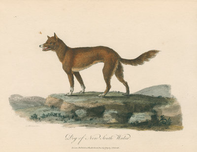 'Dog of New South Wales' by Mortimer - print