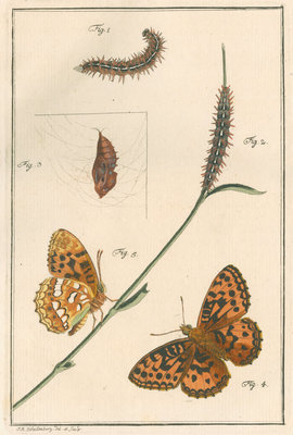 High brown fritillary by Johann Rudolf Schellenbur - print