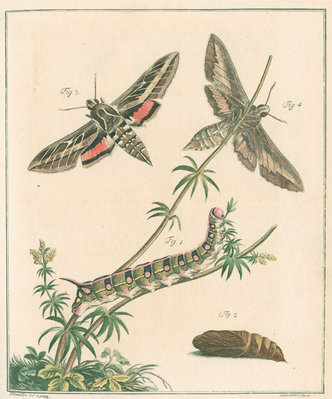 Striped hawk moth by Johann Rudolf Schellenbur - print