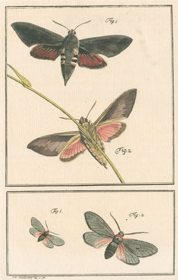 Studies of two moths by Johann Rudolf Schellenbur - print