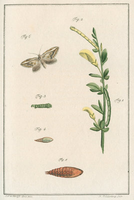 Broom moth by Johann Rudolf Schellenbur - print
