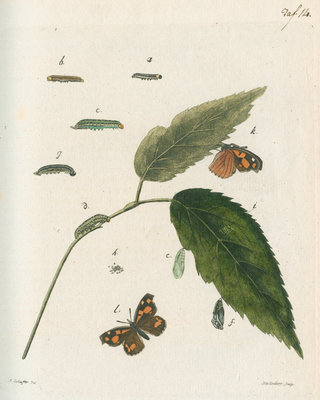 Nettle-tree butterfly by Johann Rudolf Schellenbur - print