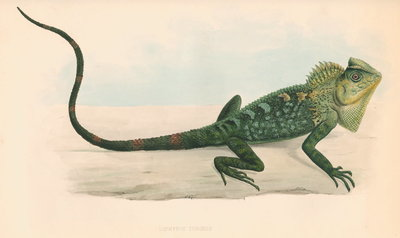 Lophyrus tigrinus by unknown - print